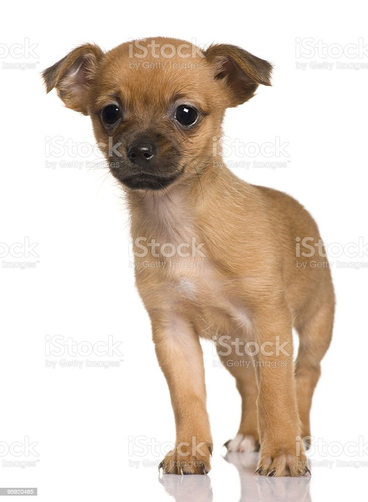 Puppy Crossbreed With Shih Tzu And Yorkshire Terrier Stock Photo Download Image Now Istock