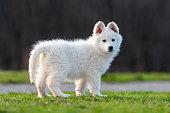 Puppy funny cute White Swiss Shepherd dog portrait on meadow