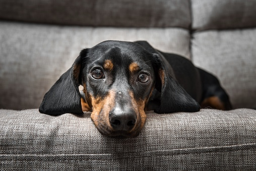 Puppy Dachshund looks at the camera