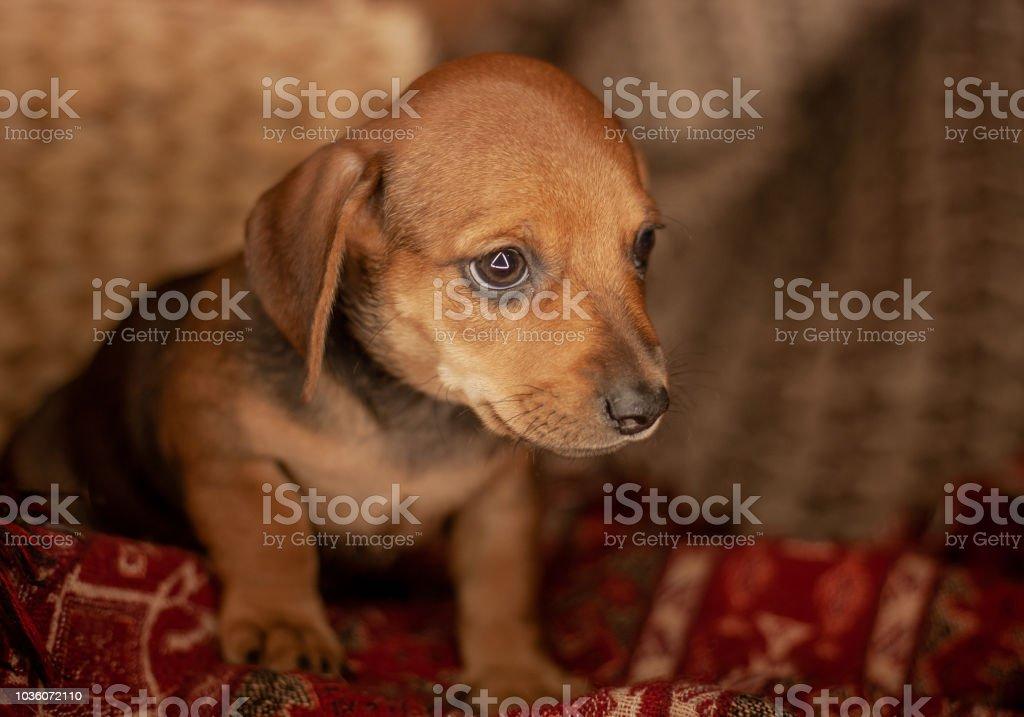 perro salchicha cachorro