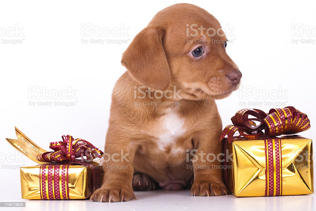 puppy dachshund royalty-free stock photo