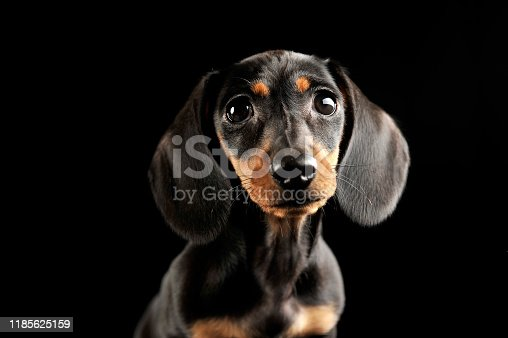 Puppy dachshund portrait in a dark studio