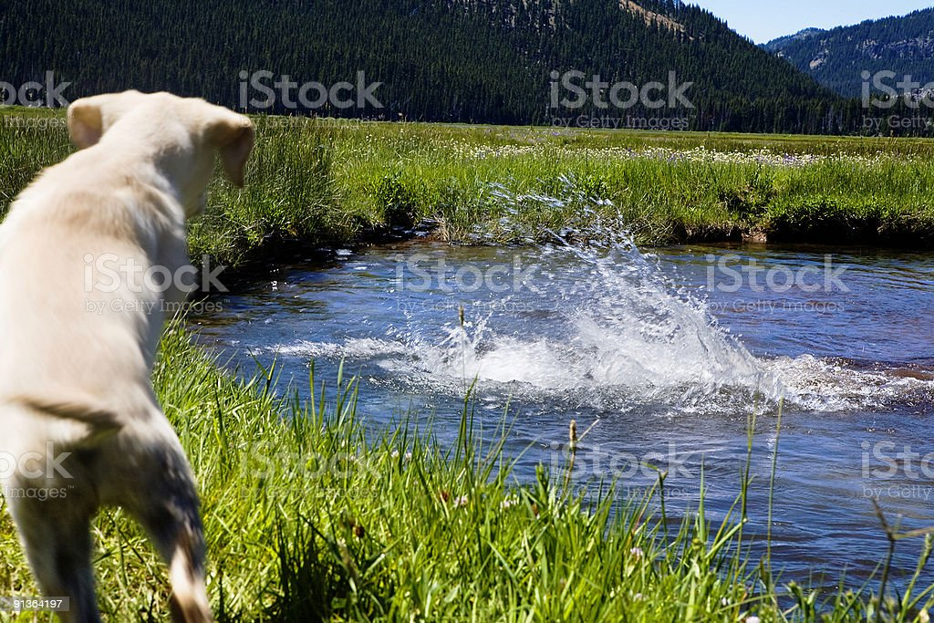 Puppy Diving Lessons royalty-free stock photo