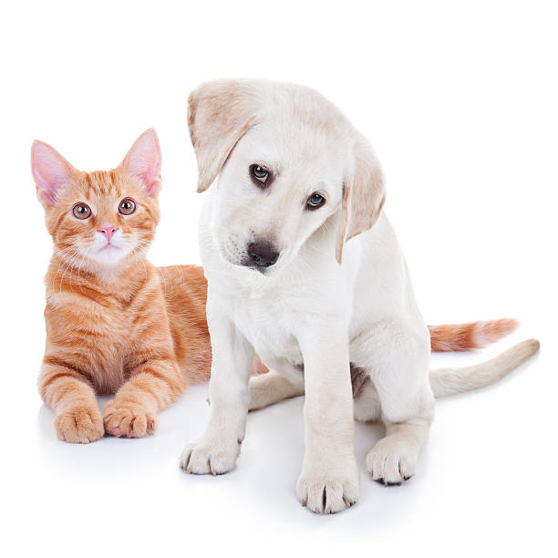 Puppy dog and kitten cat pets picture id533863944?b=1&k=6&m=533863944&s=612x612&w=0&h=oojgvdy2kow1otdvtlpigzsawhhisgg84o0yellpoww=