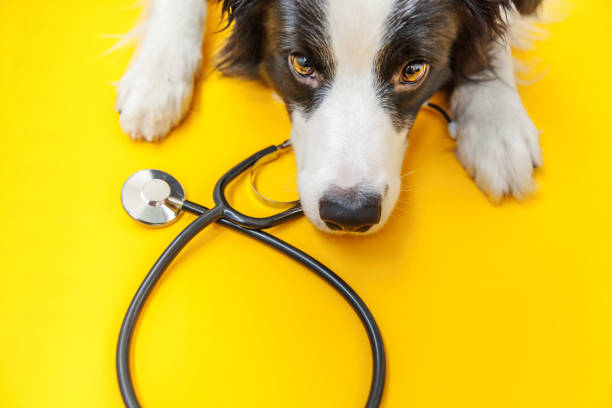 Puppy dog border collie and stethoscope isolated on yellow background picture id1194936316?b=1&k=6&m=1194936316&s=612x612&w=0&h=g1wm6t8nc77etfpdlurvhulydhvoi66byuwo1miehea=