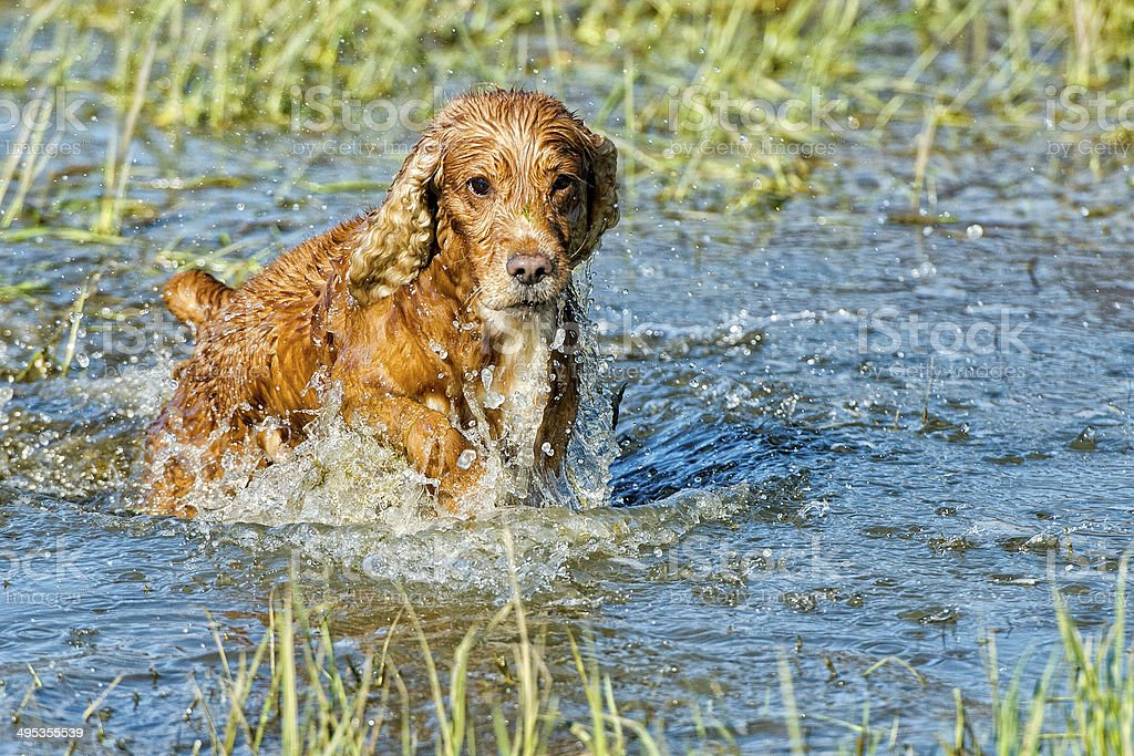 Puppy dog cocker spaniel while playing in the river stock photo