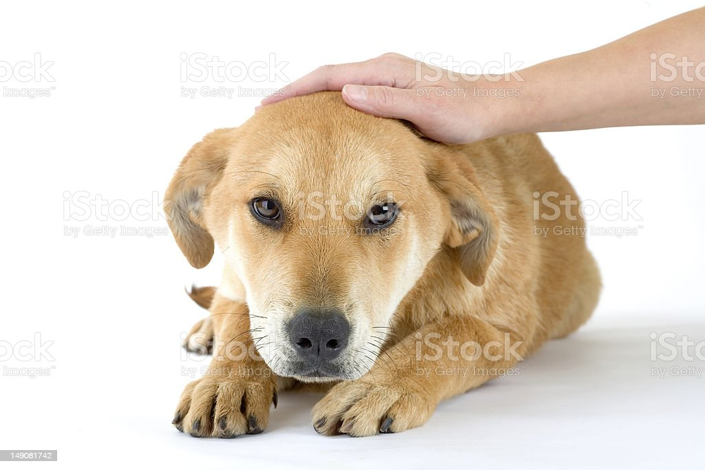 puppy dog enjoys being stroked, isolated royalty-free stock photo