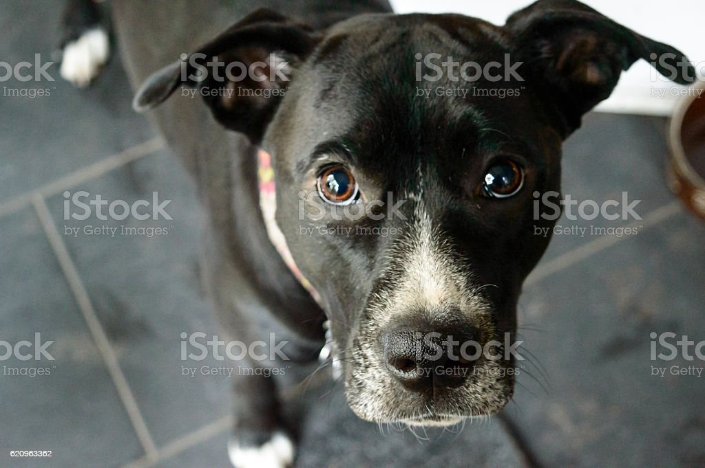 Puppy Dog Eyes Looking Up stock photo
