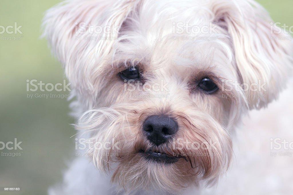 Puppy Dog Eyes royalty-free stock photo