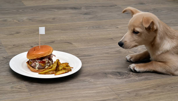 puppy dog fastidious looking at tasty hamburger stock photo