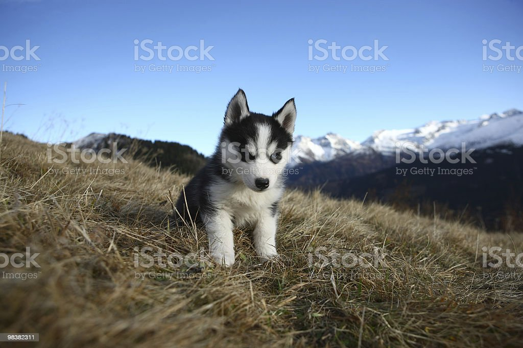 Puppy Dog in front of a Mountain Scenery royalty-free stock photo