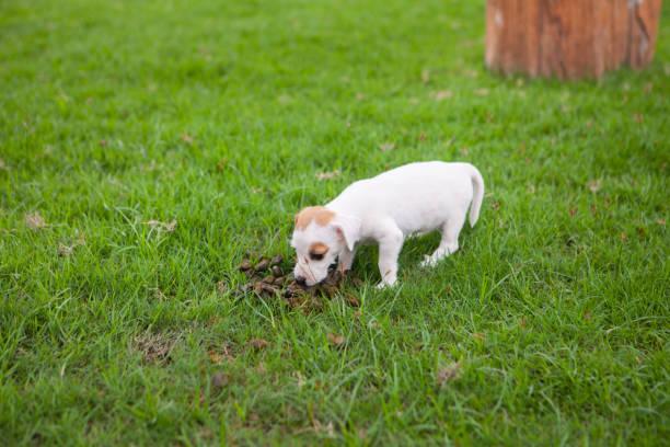 puppy hund frisst tierische fäkalien - durchfall beim hund stock-fotos und bilder