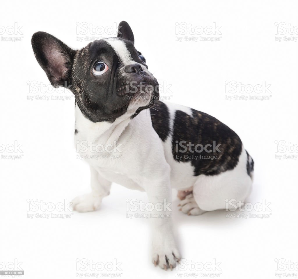 Puppy dog looking up stock photo