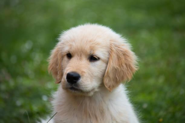 Welpenhund der Golden Retriever Rasse – Foto