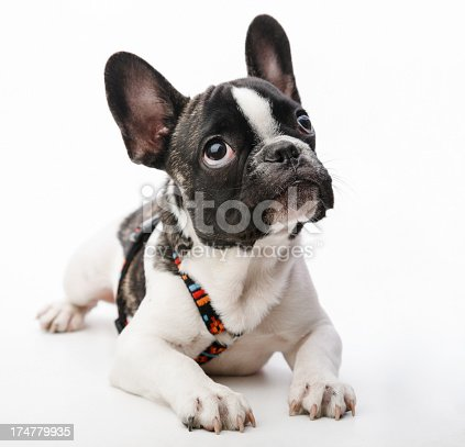 Sweet innocent puppy dog looking up on white background