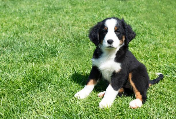 Puppy dog picture id687060718?b=1&k=6&m=687060718&s=612x612&w=0&h=plttfu ogwdccqawkcruc47cijyg9b9qssxjdpmsluy=