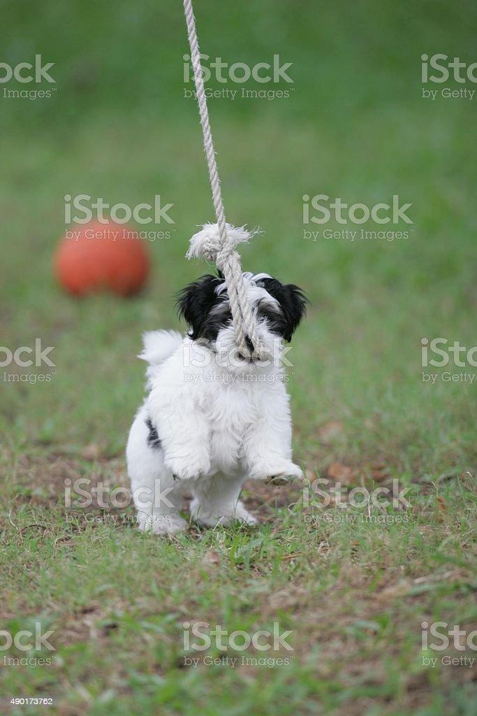 Welpe Hund spielt mit Seil – Foto