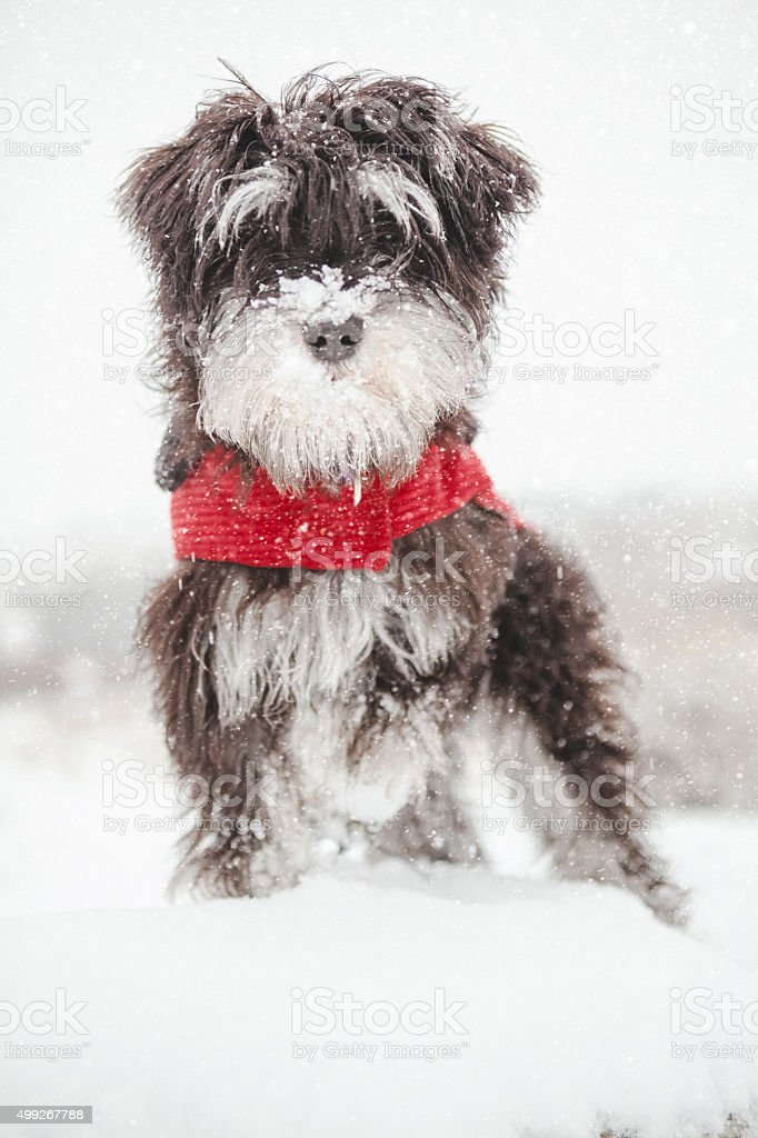 Puppy Dog Sitting In A Snow Storm Wearing Red Coat stock photo
