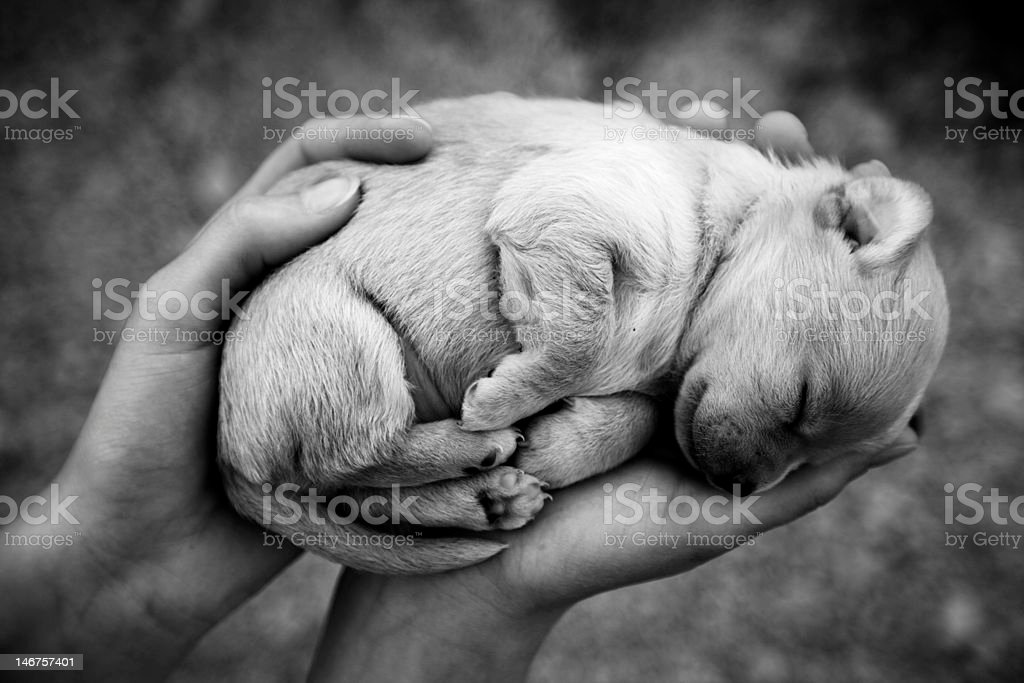 Puppy dog sleep in the hand royalty-free stock photo
