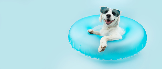 puppy dog summer inside of a blue inflatable wearing sunglasses. Isolated on blue background.