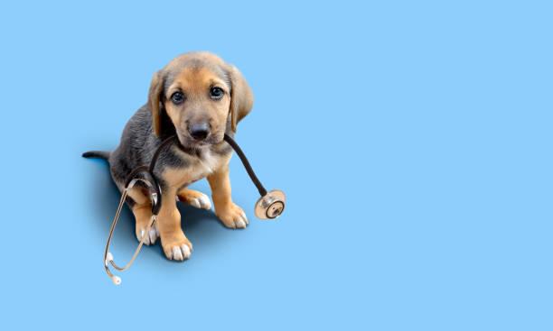 Puppy dog with stethoscope stock photo