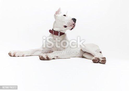 Puppy dogo argentino on white background, studio shot
