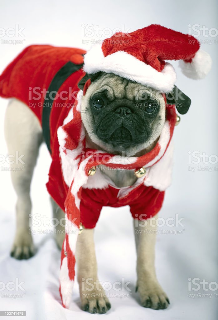 Puppy dressed like Santa Claus royalty-free stock photo