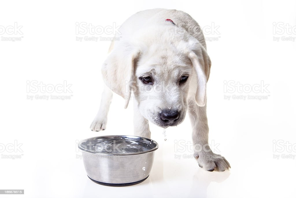 Puppy drinking water stock photo