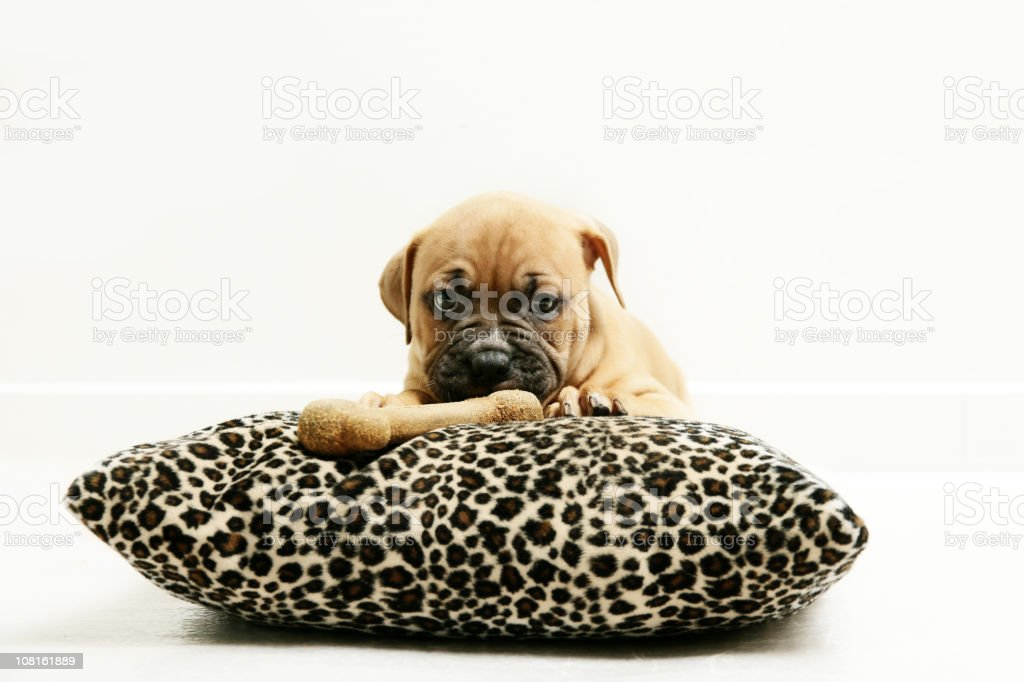 Puppy eating royalty-free stock photo