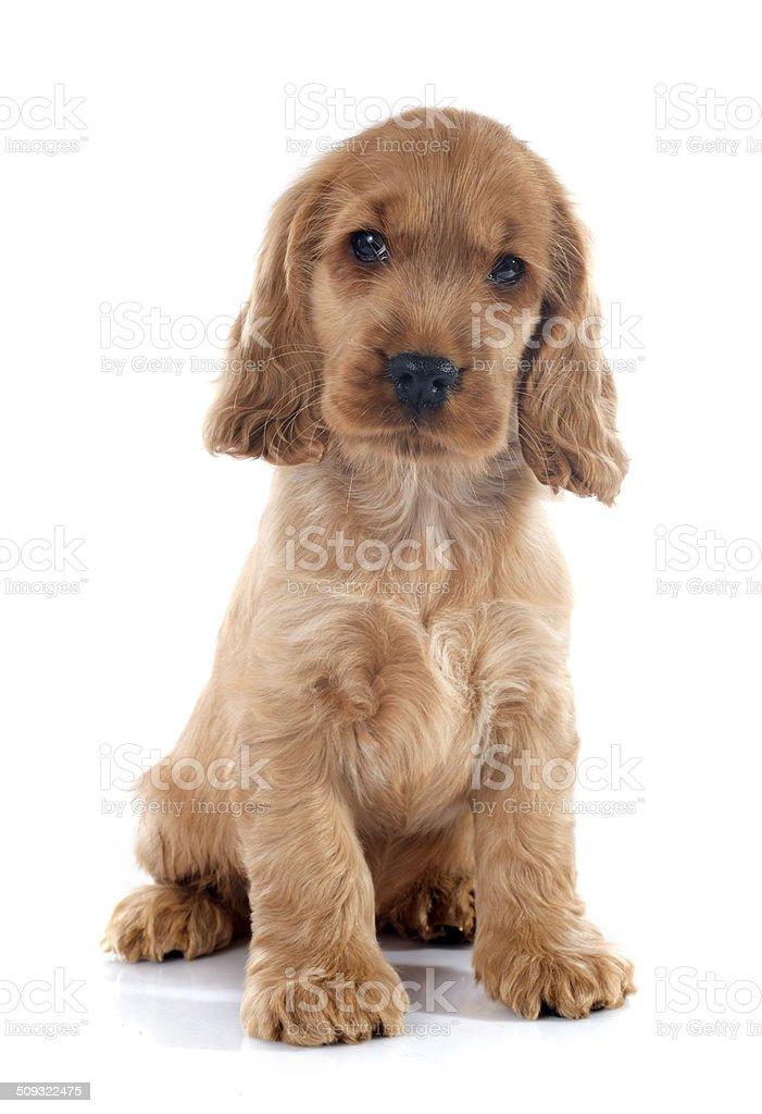 puppy english cocker stock photo