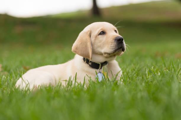 Puppy enjoying a relaxing day in the grass stock photo