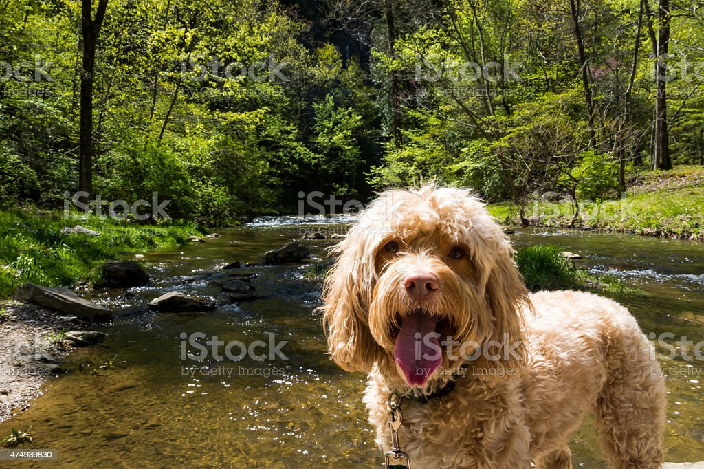 Puppy Enjoys Hike Among a Green Forest and Active Creek stock photo