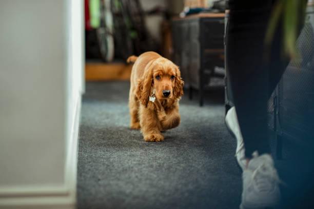 Puppy exploring the office picture id1158387654?b=1&k=6&m=1158387654&s=612x612&w=0&h=4muw puup7kt1hcn8c 1ldc8yrjsoawq05pst1qh9lk=