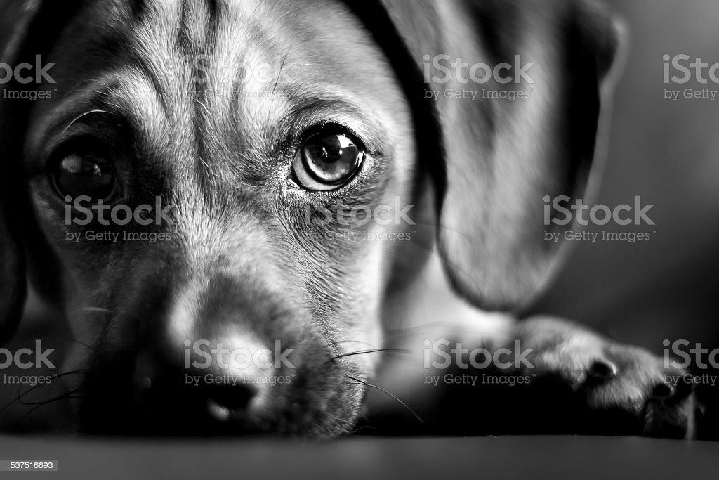 Puppy Eyes stock photo