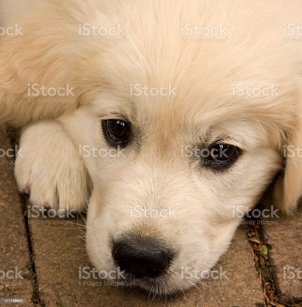 Puppy Face royalty-free stock photo