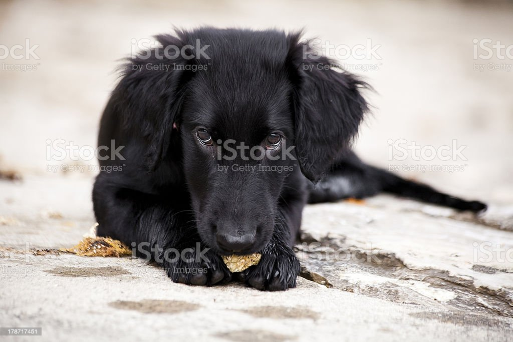 Puppy Flat-coated retriever stock photo