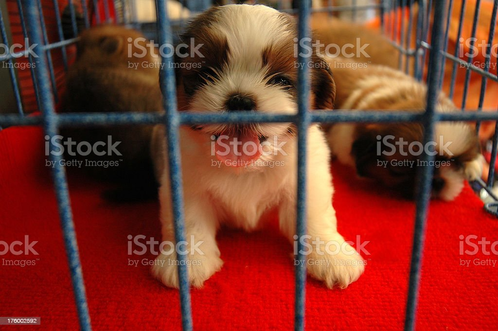Chiot en vente - Photo