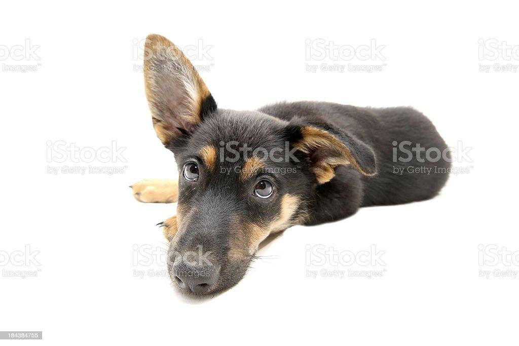 Cucciolo, quattro mesi di età - foto stock