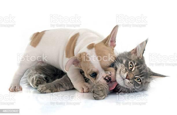 Puppy french bulldog and cat picture id480202602?b=1&k=6&m=480202602&s=612x612&h=6fvwifo7c4dc2h1mid82iovtwlr9jxmpwtzlikfky1e=