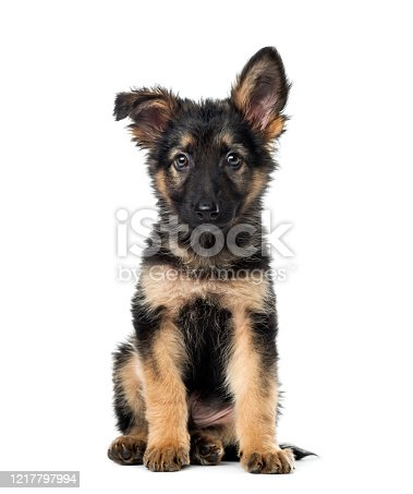 Puppy German Shepherd sitting, 9 weeks old, isolated on white