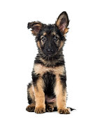 istock Puppy German Shepherd sitting, 9 weeks old, isolated on white 1217797994