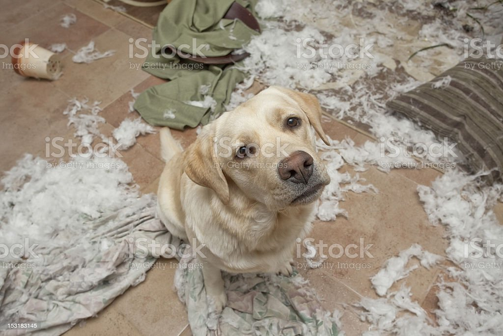 Puppy getting in trouble stock photo