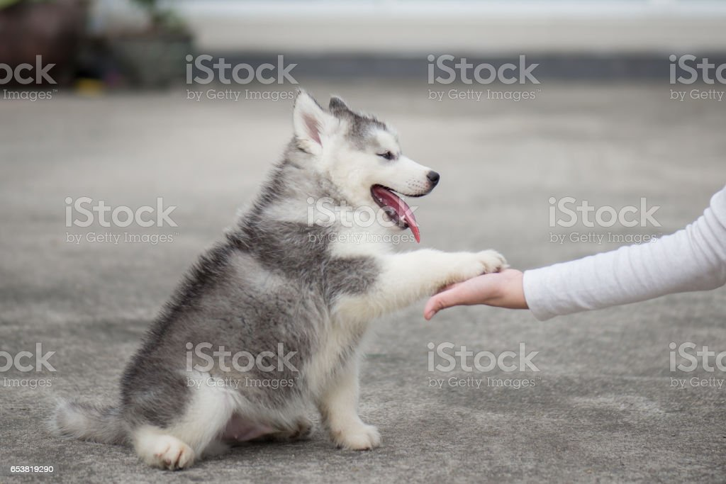 n husky puppy gives paw to human hand