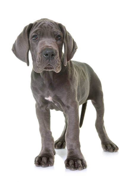 puppy great dane stock photo