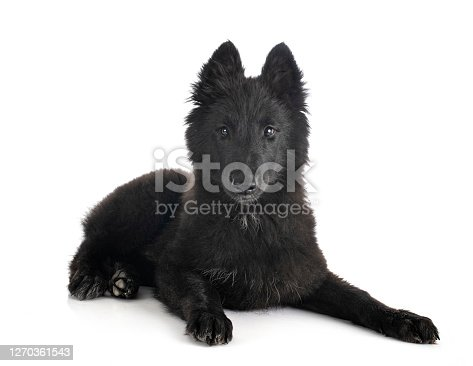 puppy Groenendael dog in front of white background