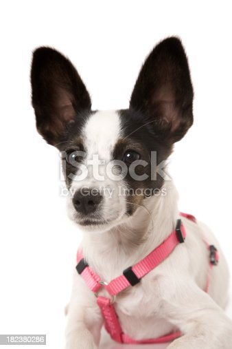 A cute puppy close up wearing a pink safety harness. Isolated on white.