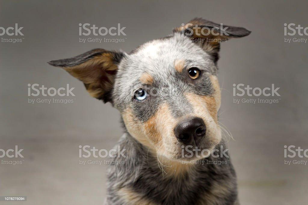 Puppy Headshot in Studio – zdjęcie