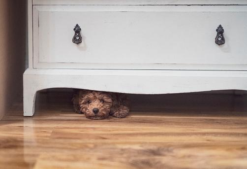 Little puppy is hiding under a cupboard