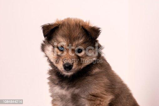 Portrait of puppy husky dog on a rectangle shelf.