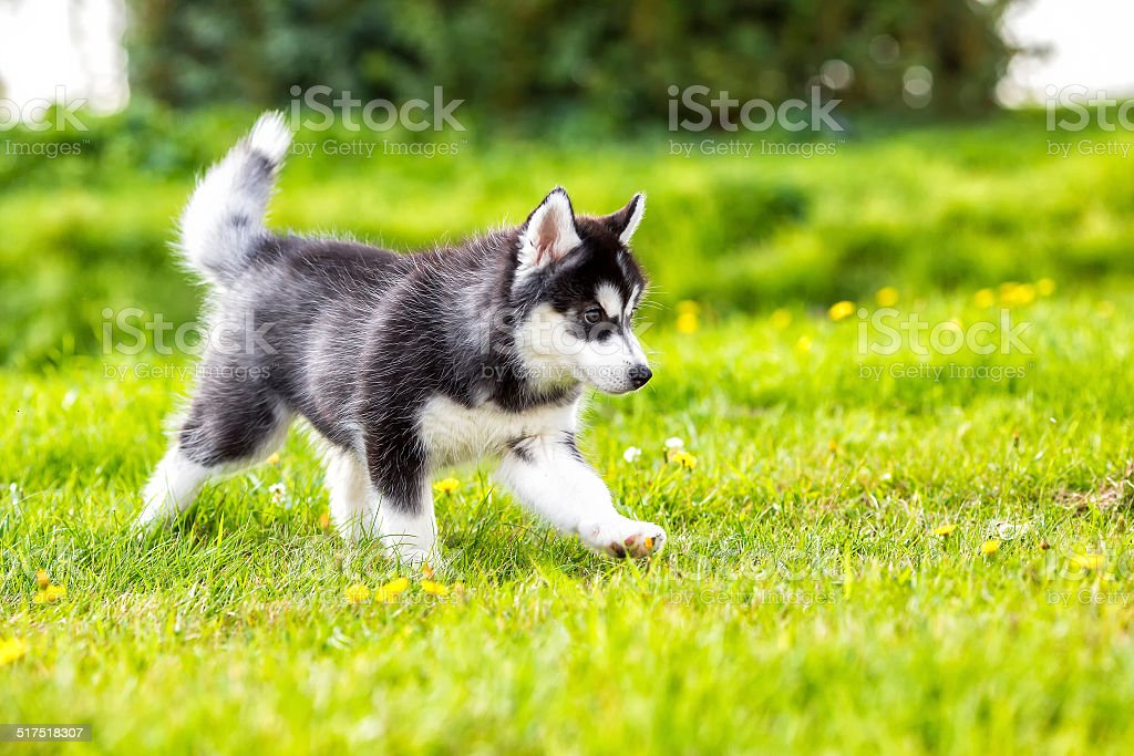 Puppy husky runs across the grass stock photo